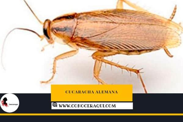 cucaracha alemana incenticida