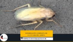 cucarachas albinas